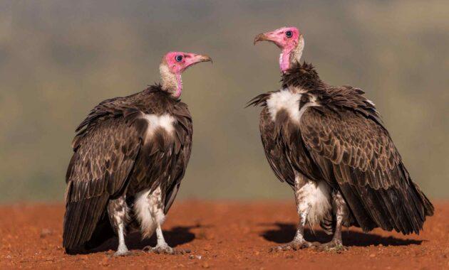 Burung Hering aka (Vulture)