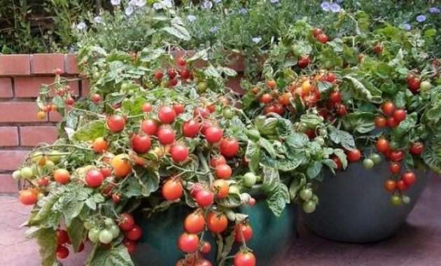 6 Cara Budidaya Tomat Dalam Pot
