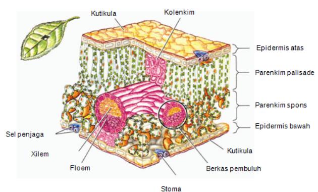Fungsi dan Peranan jaringan Pada Akar, Batang dan Daun Tumbuhan