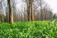 Kelemahan dan tantangan dalam sistem agroforestri