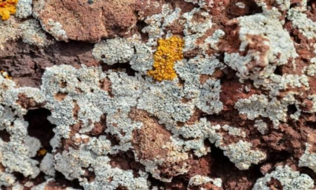 Morfologi dan Klasifikasi Lumut Kerak (Lichens)