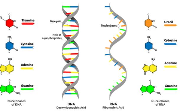 Fungsi dan Peranan RNA (Asam Ribonukleat)