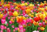 Klasifikasi dan Morfologi Tanaman Hias Tulip