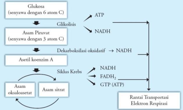 Pengertian Glikolisis Aerobik Adalah Proses dan Rumus Glikolisis Aerobik
