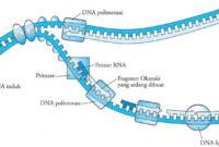Pengertian Sintesis Protein Adalah Proses dan Tahap Sintesis Protein