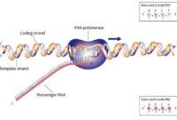 Pengertian Transkripsi DNA Adalah Jenis dan Proses Transkripsi DNA