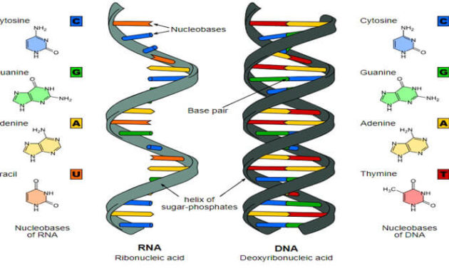 Pengertian danStruktur RNA