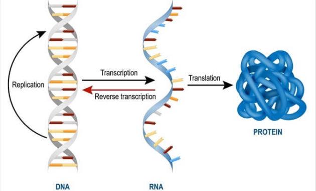 Pengertian mRNA Adalah Proses Kodon mRNA