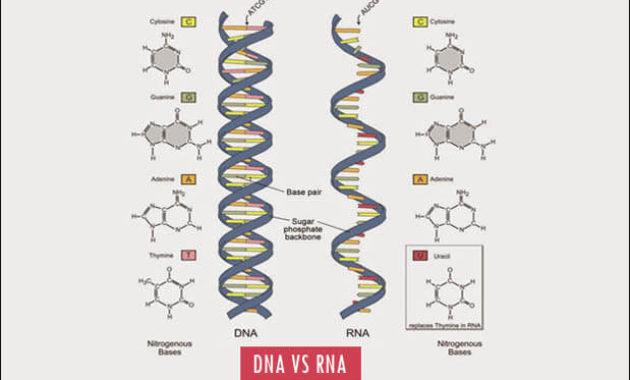 Perbedaan DNA dan RNA Peranannya