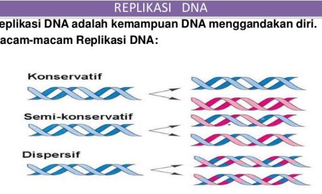 Proses dan Tahapan Replikasi DNA