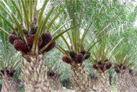 4 Cara Perawatan Tanaman Kelapa Sawit Pada Lahan Gambut