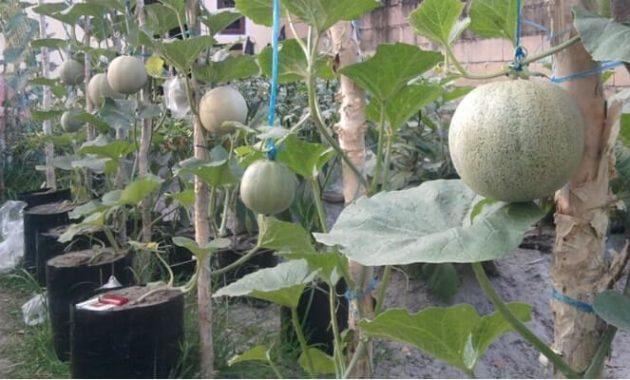 7 Cara Budidaya Tanaman Melon Paling Menguntungkan