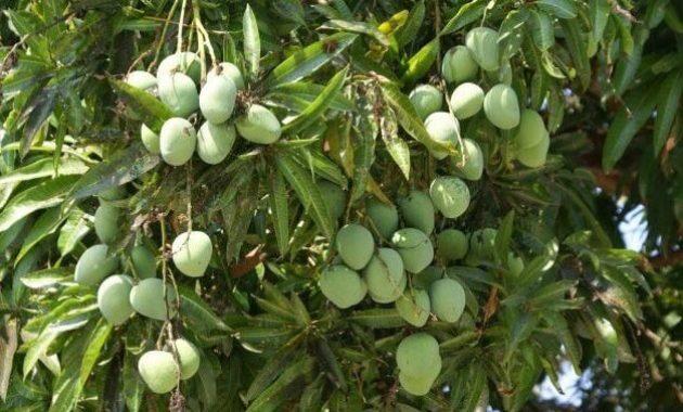 Klasifikasi Dan Morfologi Tanaman Mangga