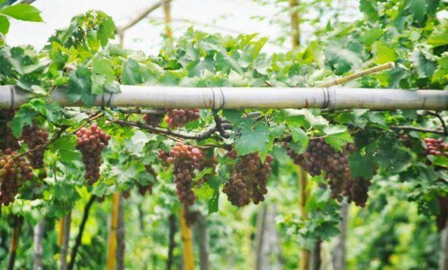 Klasifikasi dan Morfologi Tanaman Anggur