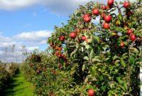 Klasifikasi dan Morfologi Tanaman Apel