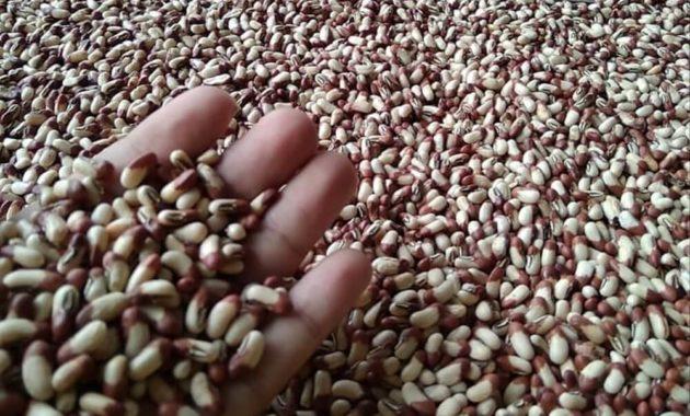 Memilih Bibit Kacang Panjang