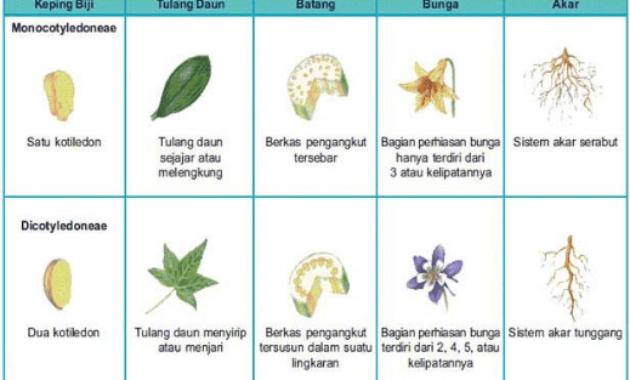 Pengertian Ciri Jenis Dan Perbedaan Tumbuhan Monokotil Dan Dikotil