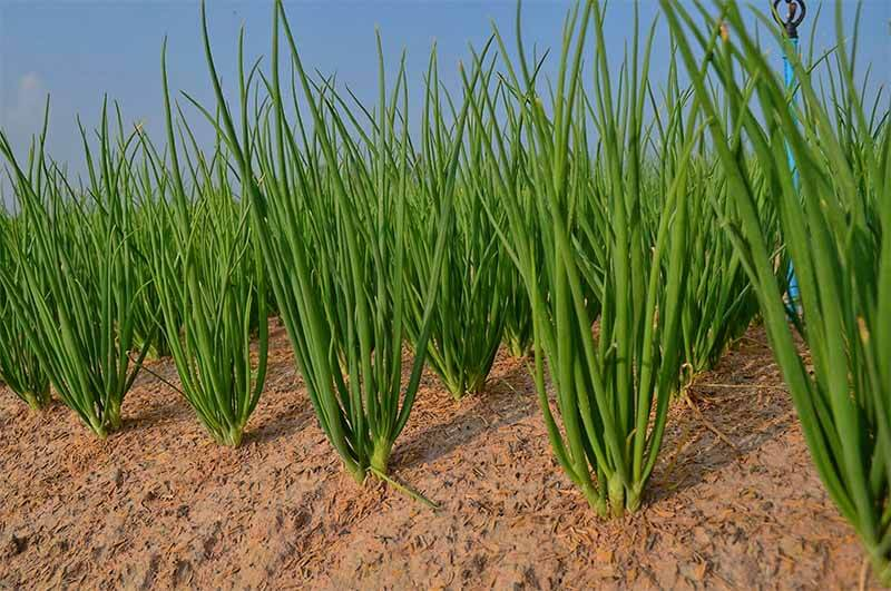Klasifikasi Dan Morfologi Tanaman Bawang Merah Ilmu Pertanian