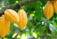 Klasifikasi dan Morfologi Tanaman Kakao