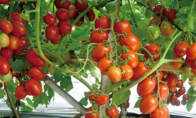 Klasifikasi dan Morfologi Tanaman Tomat