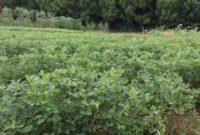 Klasifikasi Dan Morfologi Tanaman Kacang Tanah