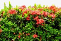Klasifikasi dan Morfologi Tanaman Bunga Asoka