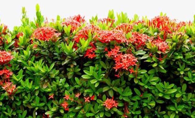 Klasifikasi Dan Morfologi Tanaman Bunga Asoka Ilmu Pertanian