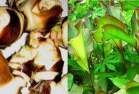 Klasifikasi dan Morfologi Tanaman Ganyong