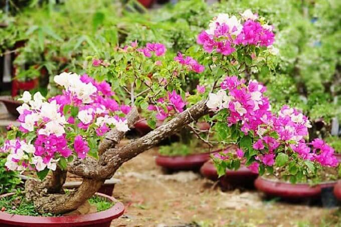 Morfologi Dan Klasifikasi Tanaman Bunga Kertas Ilmu Pertanian