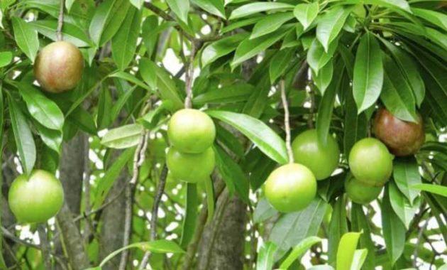 Klasifikasi dan Morfologi Tanaman Bintaro
