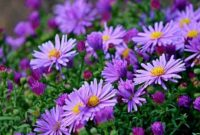 Klasifikasi dan Morfologi Tanaman Bunga Aster