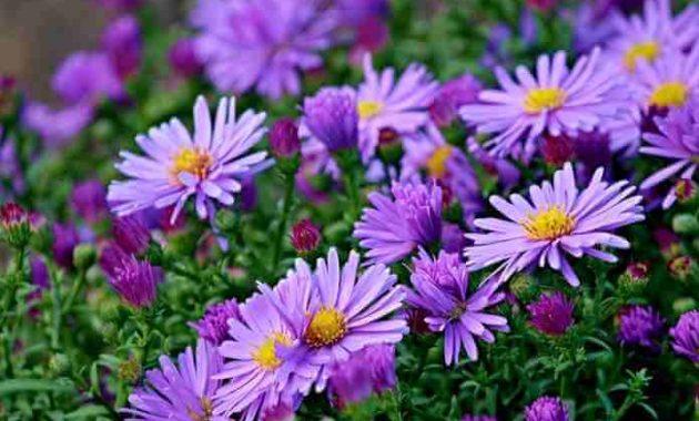 Klasifikasi Dan Morfologi Tanaman Bunga Aster Ilmu Pertanian