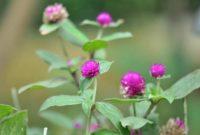 Klasifikasi dan Morfologi Tanaman Bunga Kenop