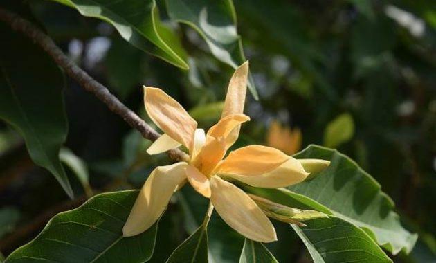 Bunga Cempaka Hutan