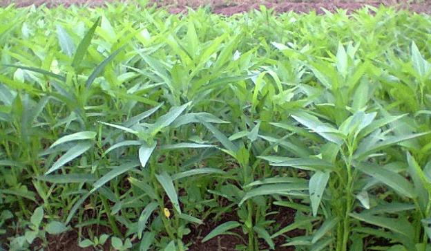 Klasifikasi Dan Morfologi Tanaman Kangkung Ilmu Pertanian