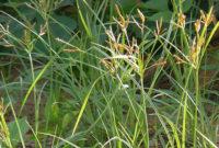 Klasifikasi dan Morfologi Tanaman Rumput Teki