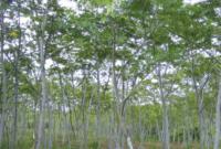 Klasifikasi dan Morfologi Tanaman Sengon