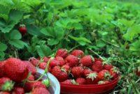 Klasifikasi dan Morfologi Tanaman Strawberry