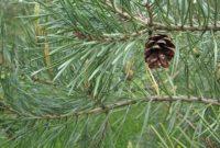 klasifikasi dan morfologi tanaman pinus