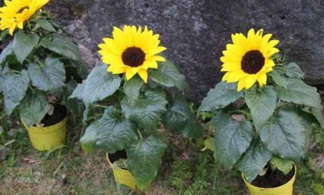 Klasifikasi dan Morfologi Tanaman Bunga Matahari