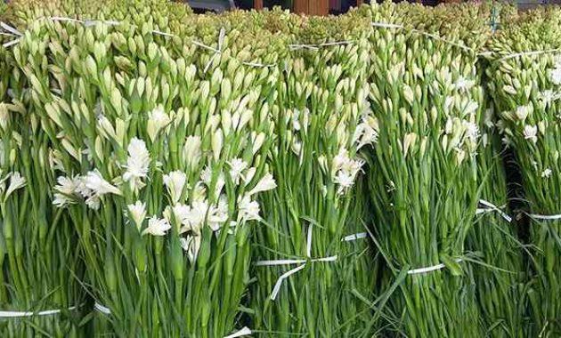 Klasifikasi Dan Morfologi Tanaman Bunga Sedap Malam Ilmu Pertanian