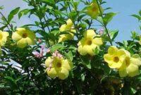 Klasifikasi Dan Morfologi Tanaman Bunga Alamanda