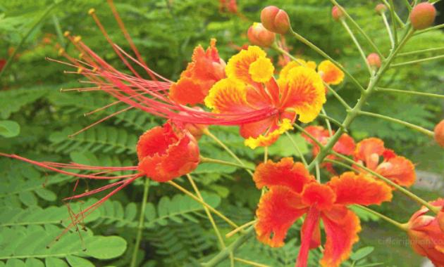 Klasifikasi Dan Morfologi Tanaman Bunga Merak