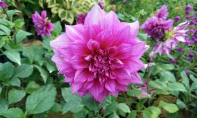 Klasifikasi Dan Morfologi Tanaman Bunga Dahlia Ilmu Pertanian