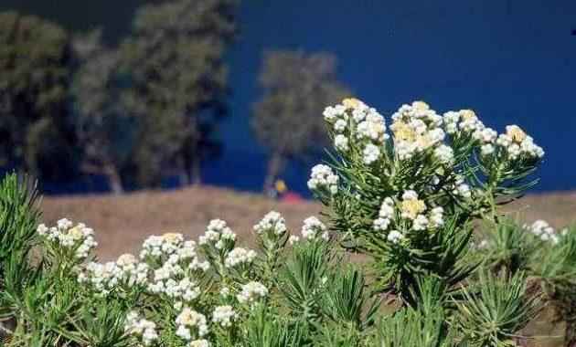 Klasifikasi dan Morfologi Tanaman Bunga Edelweis