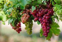 6 Cara Budidaya Tanaman Anggur Terbukti Berhasil