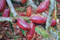 8 Cara Budidaya Tanaman Kakao Terbukti Berhasil