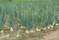 Syarat Tumbuh Tanaman Bawang Putih