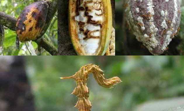 Jenis dan Hama Tanaman Kakao