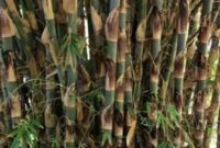 Klasifikasi dan Morfologi Tanaman Bambu Tali